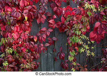 Red autumn leaves on a wall, background.