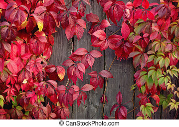 Red autumn leaves on a wall, background