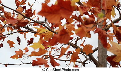 Red Autumn Leaves Swaying In The Wind
