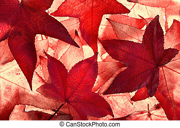 Red autumn leaves with light shining through