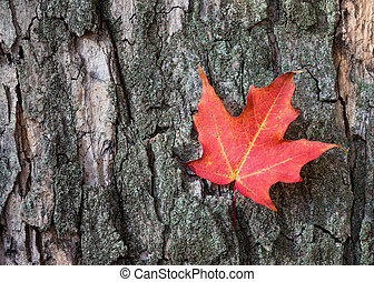 Red autumn maple leaf against tree bark