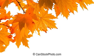 Red autumn maple leaves swaying in the wind