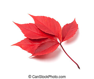 Red autumn virginia creeper leaves isolated on white background
