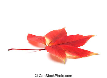 Red autumn virginia creeper leaves on white background with copy space