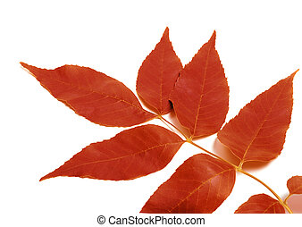 Red autumnal leaf isolated on white background