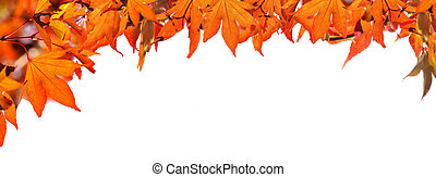 red  autumnal  leaf of maple tree on white background