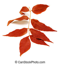 Red autumnal leaf on white - Red autumnal leaf isolated on...