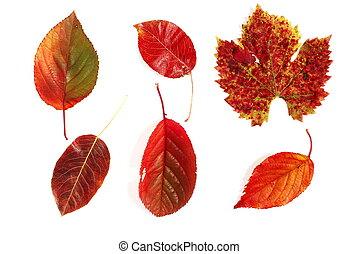 Different red autumnal leaves photographed on white background