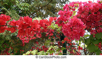 Red Azalea branch - Azalea bush with blooming bright red...