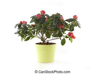 red azalea in pot