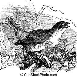 Red-backed Shrike or Lanius collurio, vintage engraving