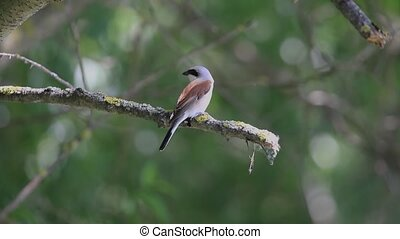 Red-backed shrike sits on a branch in the shade