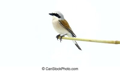 Red-backed Shrike (Lanius collurio) isolated on a white...