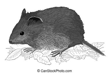 Red-backed Vole Clethrionomys rutilus Pencil and Computer...