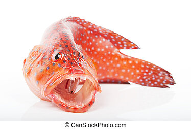 red-banded, grouper