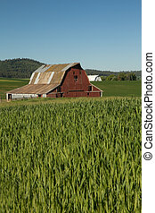 Red Barn With Metal Roof in Field of Green Wheat