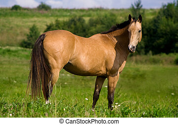 Red bay Arabian horse - Profile of a beautiful red bay...