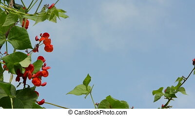 red bean bloom move sky