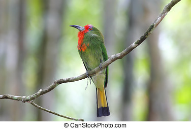 Red-bearded Bee-eater Nyctyornis amictus