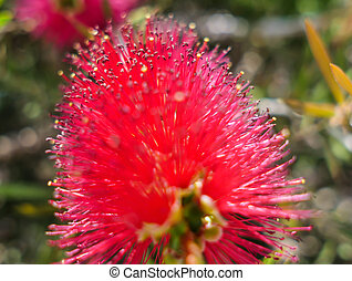 Red beautiful flower of Japanese red maple Callistemon, close-up
