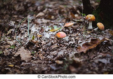 red beautiful mushrooms fly agaric growing in the forest close-up