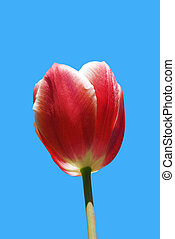 red beautiful tulip on a background blue sky in a sun day