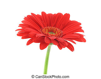 red beauty on white background