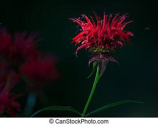 Red Bee Balm flower (Monarda) with a dark background
