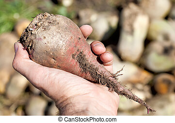 red beet in hand over field