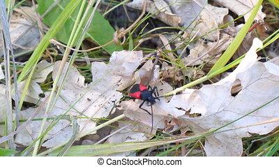 Red Beetle Barbel crawls on a dry leaf. Purpuricenus...