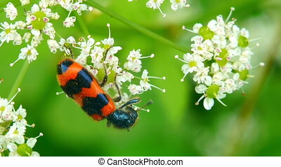 Red beetle collecting nectar. - Orange black beetle...