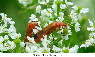 Red beetles collect nectar.