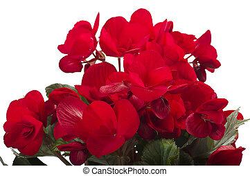 red begonia flowers