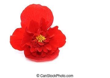 Red Begonia Isolated on White Background