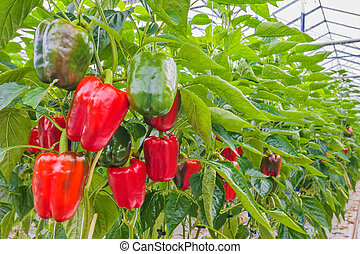 Red bell peppers in a greenhouse - Various red bell peppers...