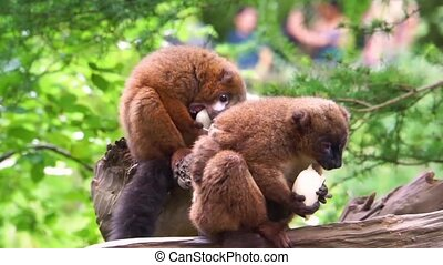 red bellied lemur couple eating vegetables together, zoo animal feeding, vulnerable primate specie from madagascar