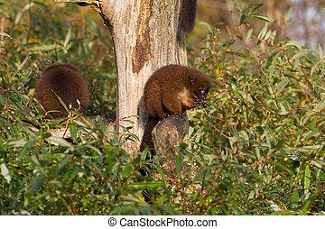Red-bellied Lemur (Eulemur rubriventer) in a tree