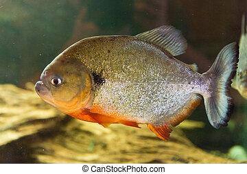 Red Bellied Piranha - Pygocentrus nattereri