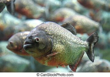 Red bellied piranha swimming underwater
