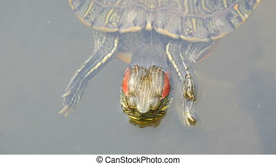 Red-bellied turtle swim in pond with other turtles close up...