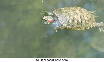 Red-bellied turtle swim in pond with other turtles