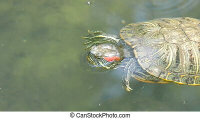 Red-bellied turtle swim in pond with other turtles -...