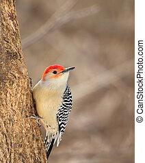 Red-bellied Woodpeckek, Melanerpes carolinus