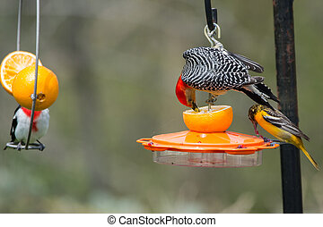 Red-bellied Woodpecker, Baltimore Oriole, and Rose-breasted ...