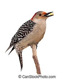 red bellied woodpecker eats a kernel of corn