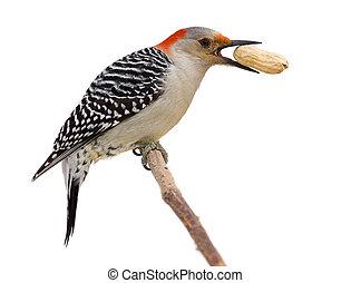 red bellied woodpecker eats a peanut
