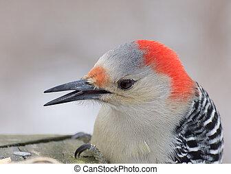 Red-bellied Woodpecker Head Shot