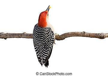 red-bellied woodpecker holds a kernel of corn