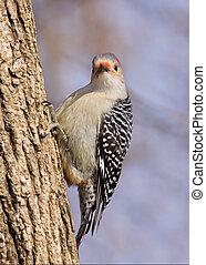 red-bellied woodpecker on a tree trunk