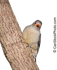 red-bellied woodpecker peaks around a tree truck